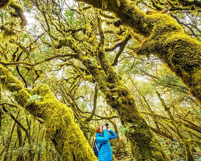Walk through a fairy-tale forest! 🧚 The evergreen Garajonay cloud forest on La Gomera is a fantasy of gnarled roots and branches, moss, rivers and waterfalls. As the main part of the Park is a laurel forest, it smells amazing. 🌲 ...